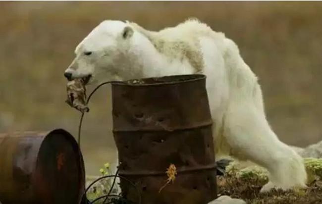 ВИДЕО, от которого слёзы на глазах: голодающий белый медведь до смерти (в прямом смысле слова) благодарен человечеству за то как с ним...