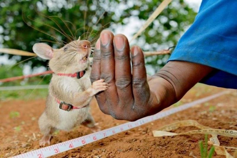 Огромная крыса показывает хо…