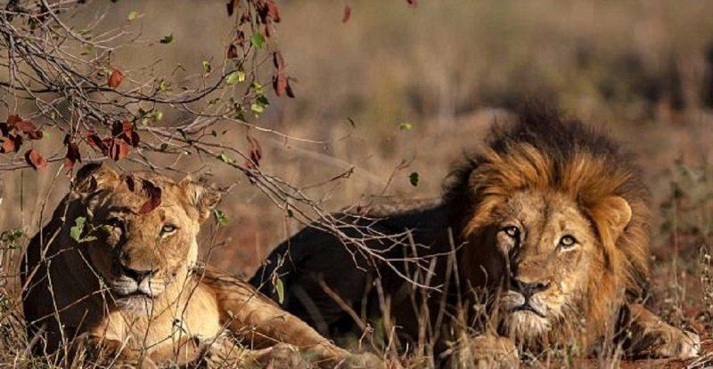 Львы заживо съели браконьера, охотившегося на них в частном заповеднике Ingwelala Private Nature Reserve Прайд, африка, браконьер, животные, заповедник, история, лев, охота