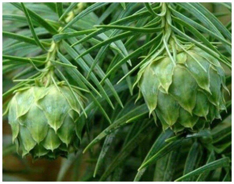 Куннингамия. род хвойных деревьев семейства Кипарисовые интересное, познавательно, природа, растения, факт, шишки