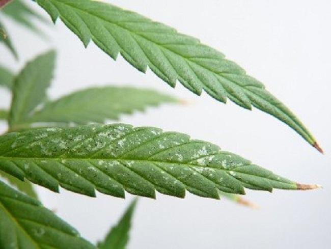 Как бороться с трипсами на комнатных растениях: химические препараты и народные средства