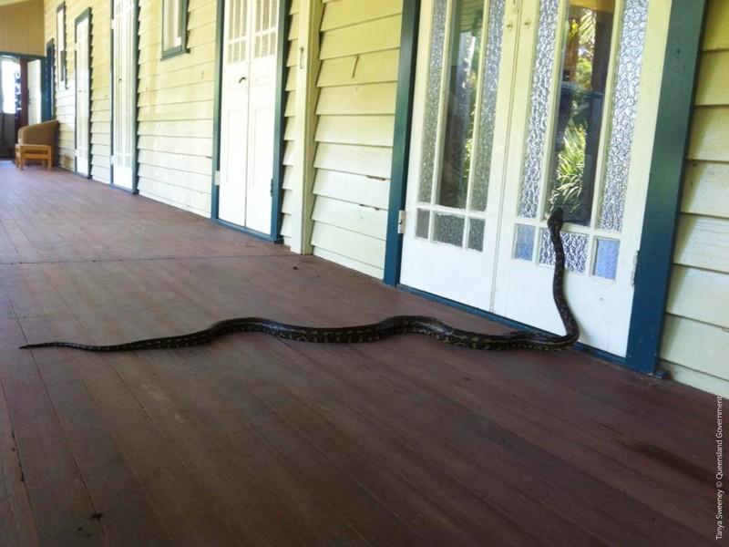 Но они не забывают постучаться в дверь австралия, змея