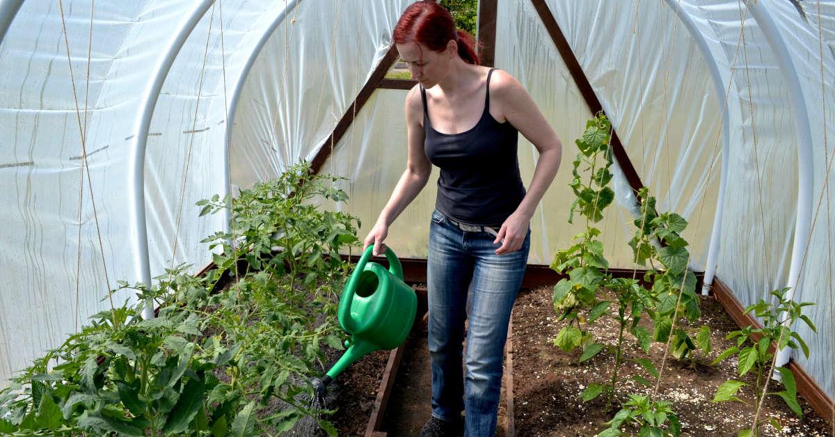 Почему у помидоров закручиваются листья и что делать