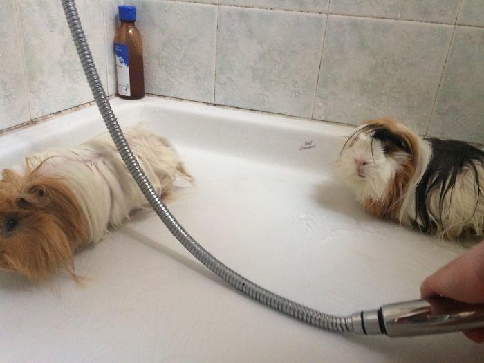 Эти - не любители водных процедур банный день, ванна, животные, купание, шок
