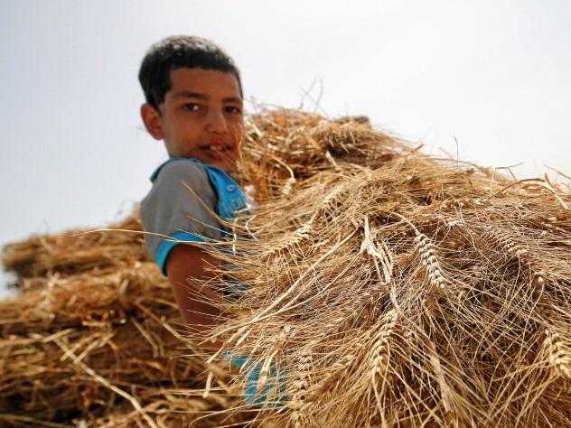 СМИ: Зачем американские фермеры уничтожают урожай