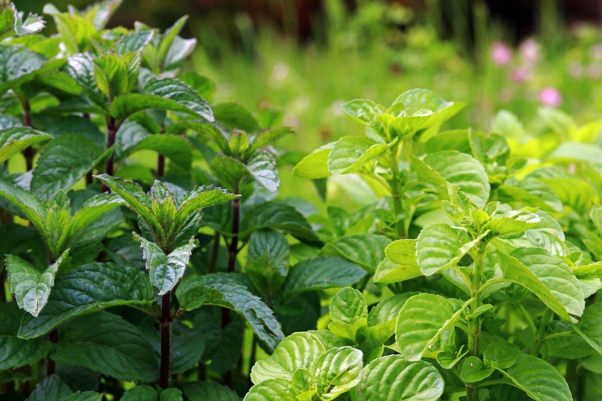 Мята и не мята — как различать, использовать и где посадить?