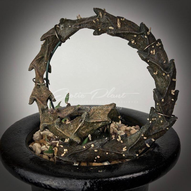 """И бонусом - дракон в горшке Ceropegia bosseri """"голые"""", интересное, красота, природа, растения, факты"""
