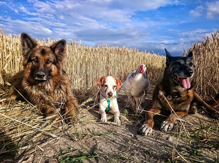 Картинки собака и петух, учителя