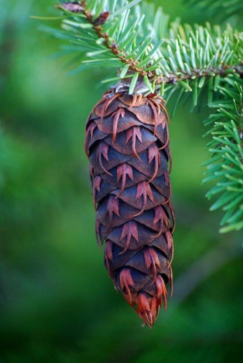 Сосна Веймутова интересное, познавательно, природа, растения, факт, шишки