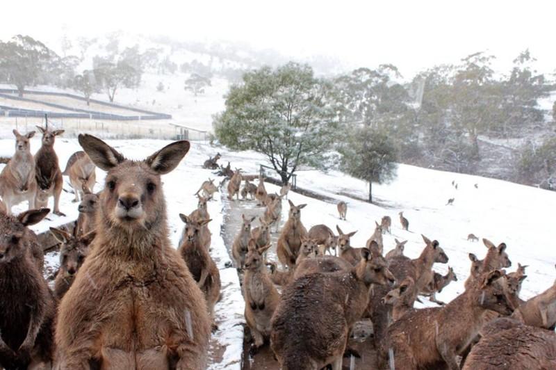 Австралия — большая страна, занимающая целый континент, и в некоторых её районах снег не такая уж редкость зима, мир, снег, юмор
