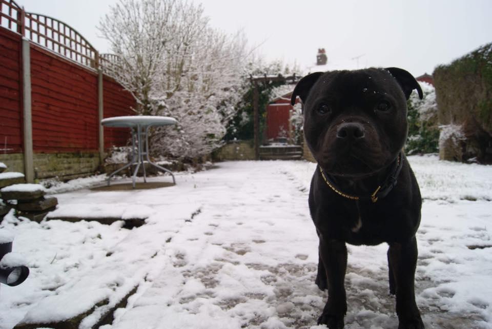 Хозяева бультерьера из Британии научили свою собаку убирать за собой разбросанные по дому игрушки