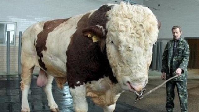 Легко ли кастрировать быка?