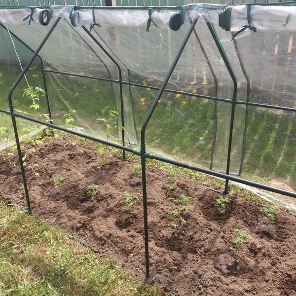 Мини-помидоры в мини-парнике — маленькая радость садовода