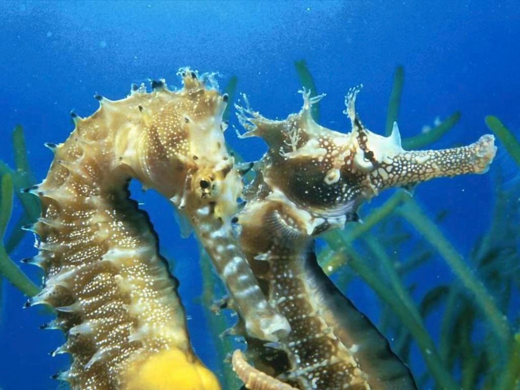 Краб морской конек картинки
