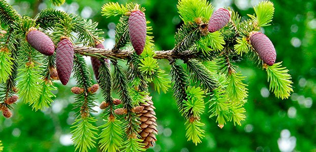 Посадка хвойных деревьев, растений и кустарников