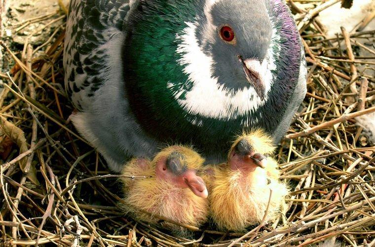 Вы видели когда-нибудь птенца голубя? Если нет, то смотрим.