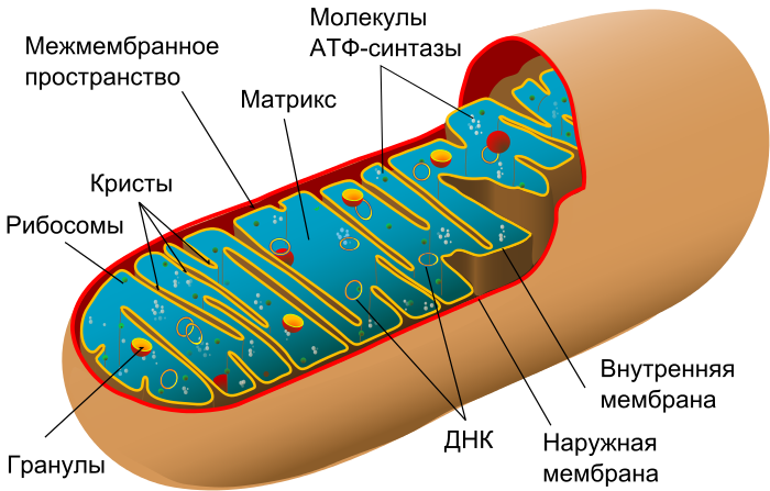 700px-Animal_mitochondrion_diagram_ru.sv