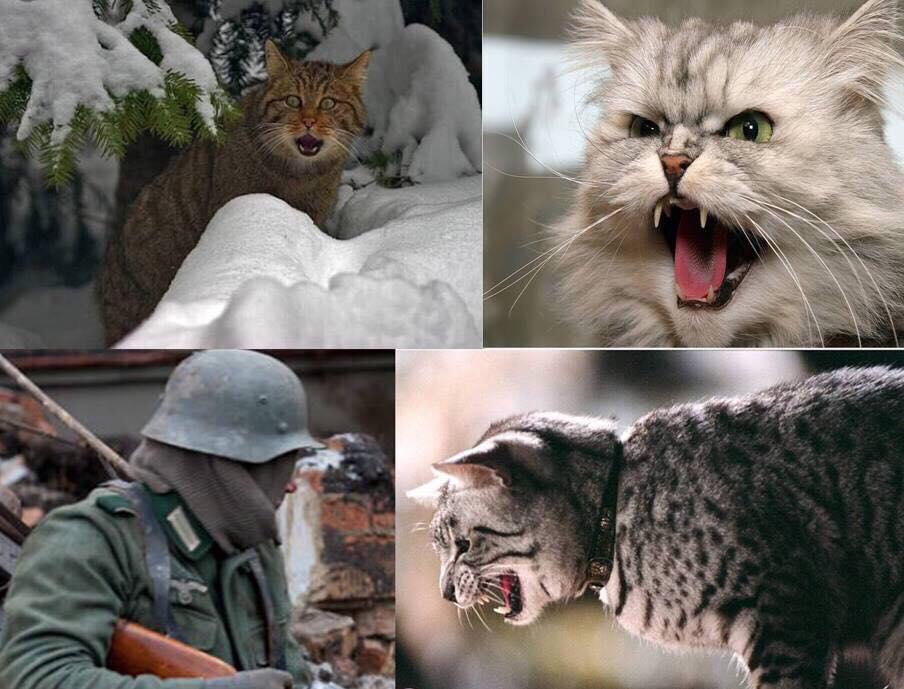 Даже кошки воевали… Злые русские кошки животные,из жизни,Истории из жизни