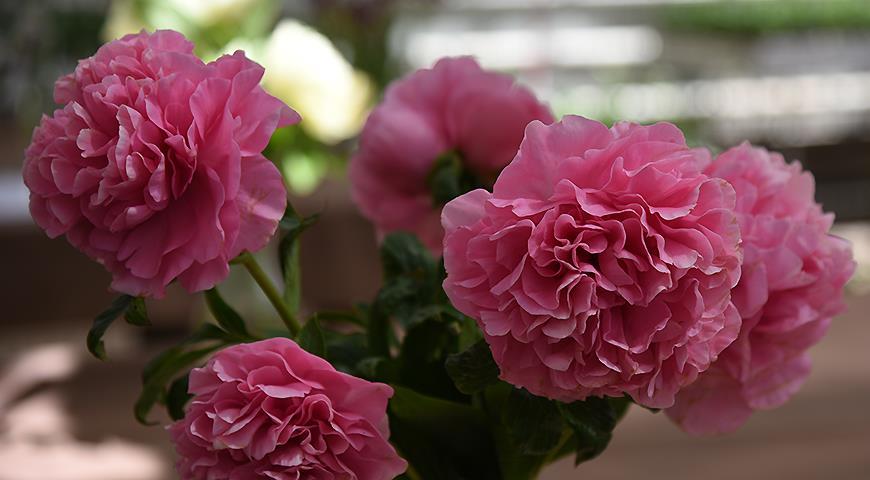 Розовые пионы: 10 самых красивых сортов розовых пионов раннего срока цветения дача,сад и огород,цветоводство