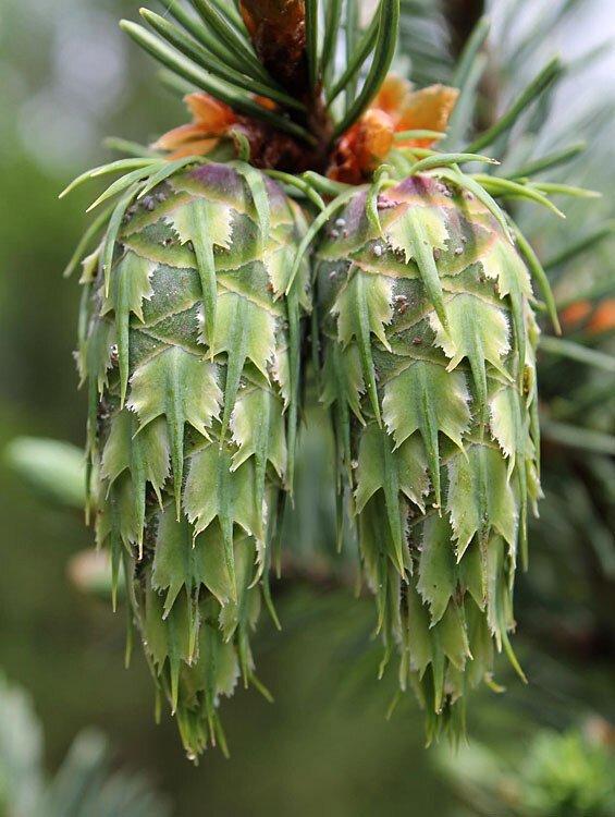 Псевдостуга (ель Дугласа) интересное, познавательно, природа, растения, факт, шишки