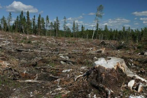 Деньги нужны, больше ничего. вырубка,лес,Путин,тайга,экономика