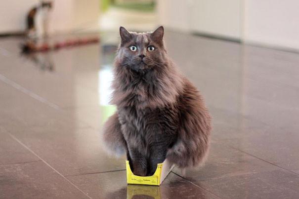 16. У кота нет понятия «слишком тесно» животные, кошка, логика