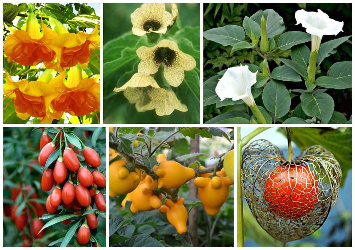 пасленовые растения все картинки комбинаций
