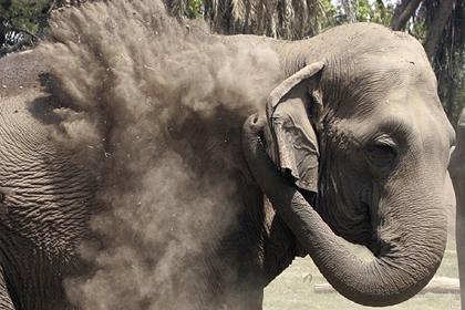 Разъяренный слон растоптал возвращавшегося с похорон фермера