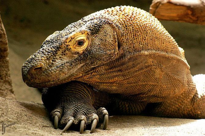 Комодские драконы