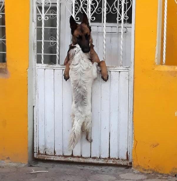 """""""Я зависла!"""" Собачка застряла в ограде, пытаясь зайти в гости к другу, но тот ей быстренько помог!"""