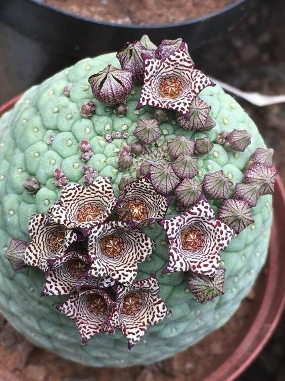 """Эти суккуленты - они сами один большой лист. Trichocaulon cactiforme из семейства Ластовневые """"голые"""", интересное, красота, природа, растения, факты"""