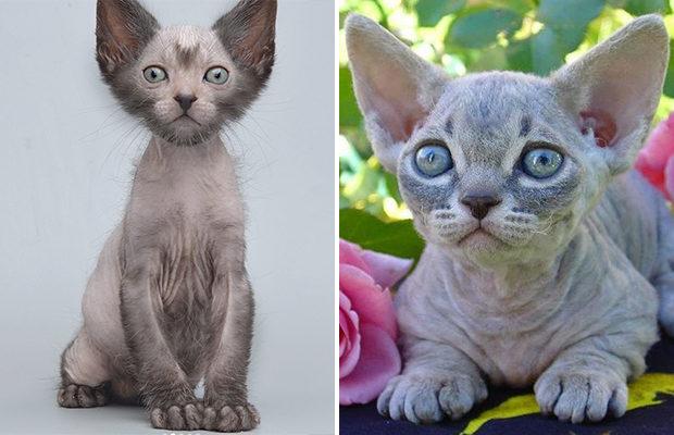 Какие породы кошек появились за последние годы?