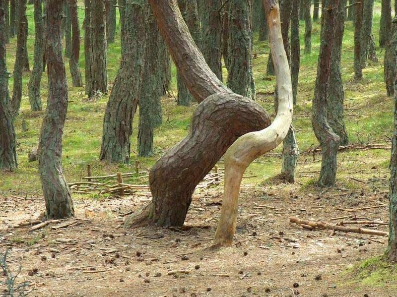 6. Этим изогнутым деревьям в «Танцующем лесу» в России нет объяснения в мире, интересно, наука, познавательно, феномен, фото