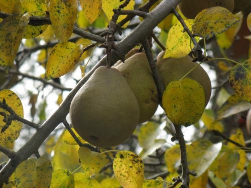 Омолаживающая обрезка яблонь и груш