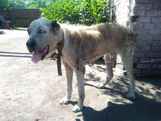 Женщина обнимала тощего алабая, все еще не веря в чудо. Пёс потерялся 2 года назад, а нашелся благодаря репосту в соцсетях не всё так грустно