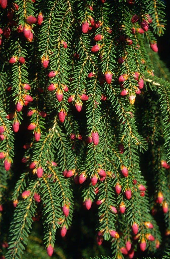 Ель восточная Ауреоспиката интересное, познавательно, природа, растения, факт, шишки