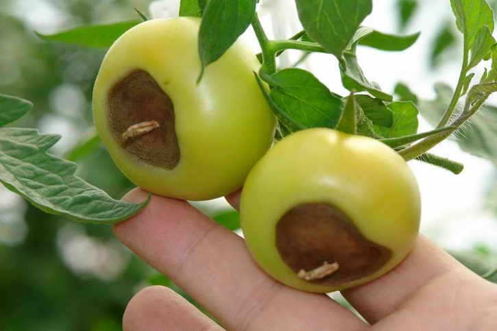 Как спасти помидоры от фитофторы, без применения химии