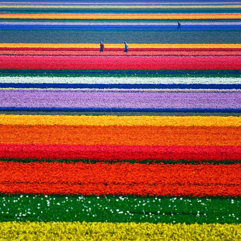 Тюльпановые поля в Нидерландах красивые места, красота, невероятные места, фото
