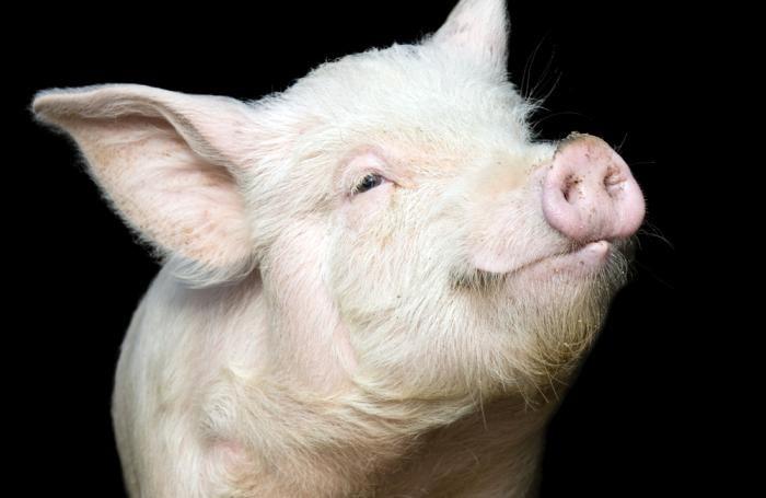 Почему свиньи не могут смотреть в небо: 8 забавных фактов о простых вещах, с которыми мы сталкиваемся каждый день