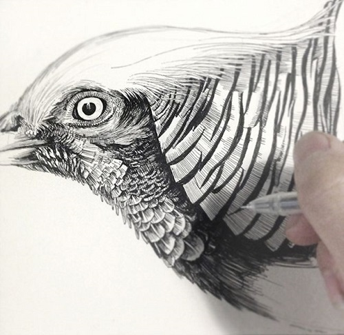 Golden Pheasant work in progress. Realistic ink pen Illustration by Chinese artist RLoN Wang