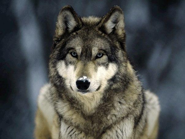 ПРИТЧА НЕДЕЛИ. Стая волков и три охотника