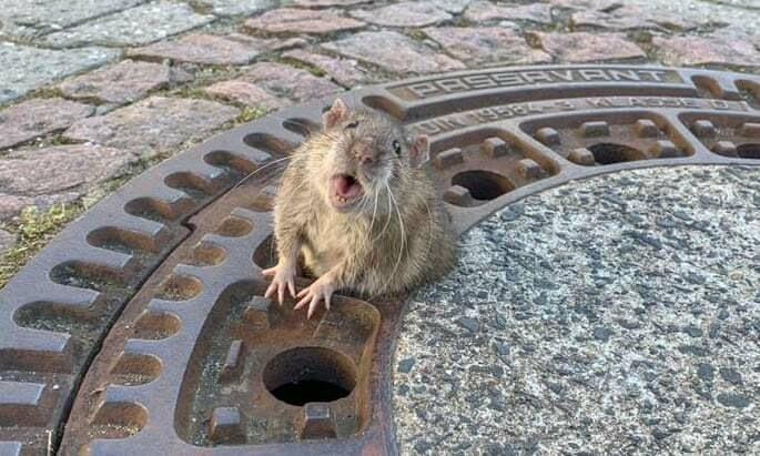 История о спасении крысы истории из жизни