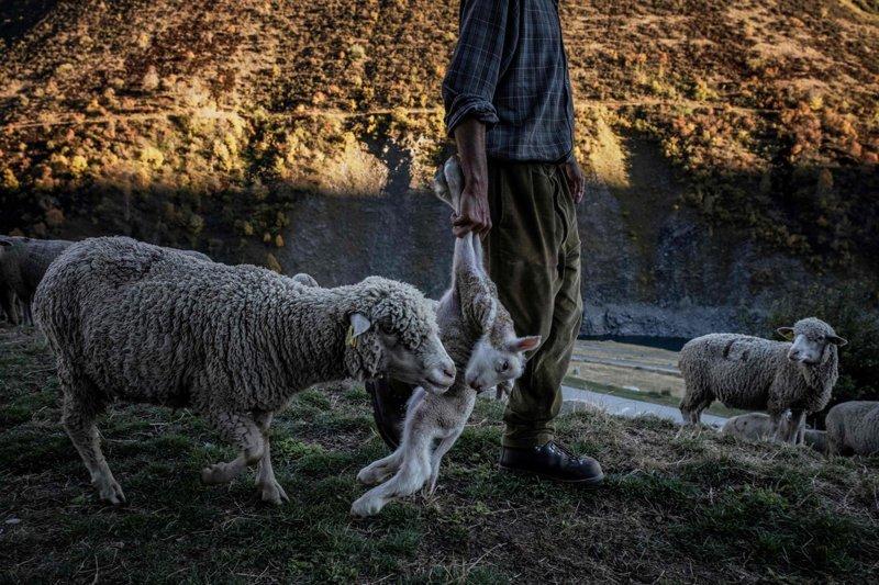 Меме тащит ягнёнка, чтобы увести его мать в безопасное место Альпы, жизнь, пастух, работа