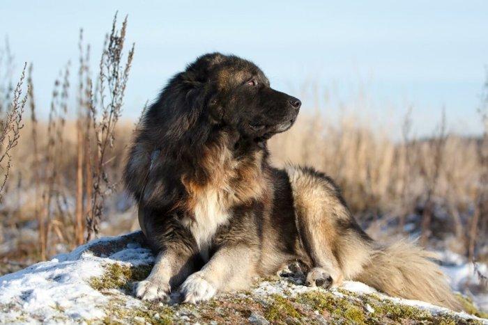 Плюсы и минусы кавказской овчарки