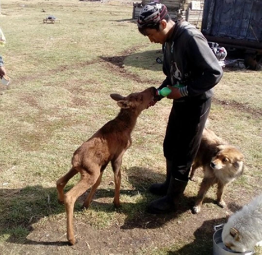 Одомашненный лось сдружился с одной из хозяйских собак, с которой они вместе играли. Фото: ulus.media.