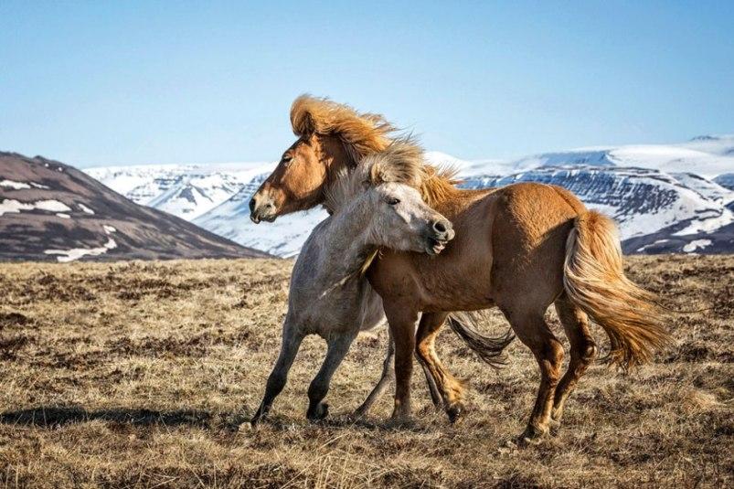Прекрасные фотографий диких лошадей