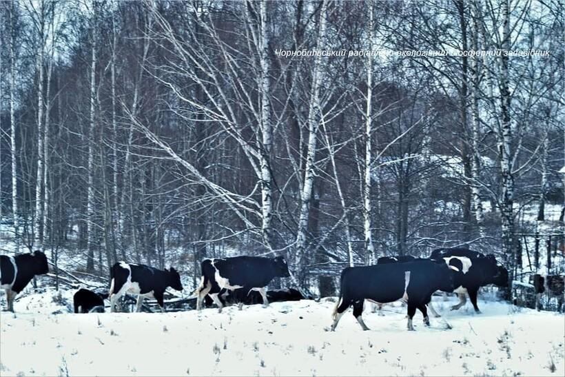 Одичавшие коровы Чернобыля