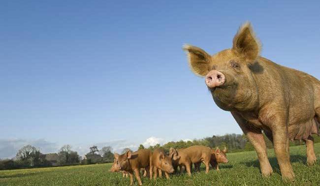 Встреча свинопаса с волком