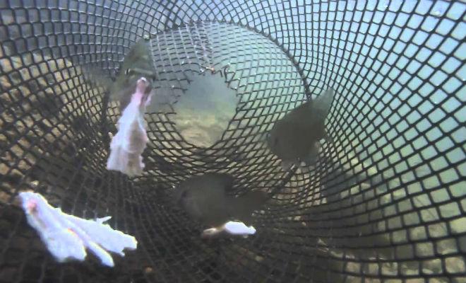 Рыба сама заплывает в сачок: видео из подводной ловушки