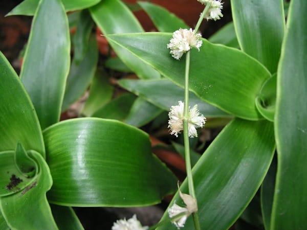 Цветок «Золотой ус»: уход и выращивание в домашних условиях комнатные растения,цветоводство